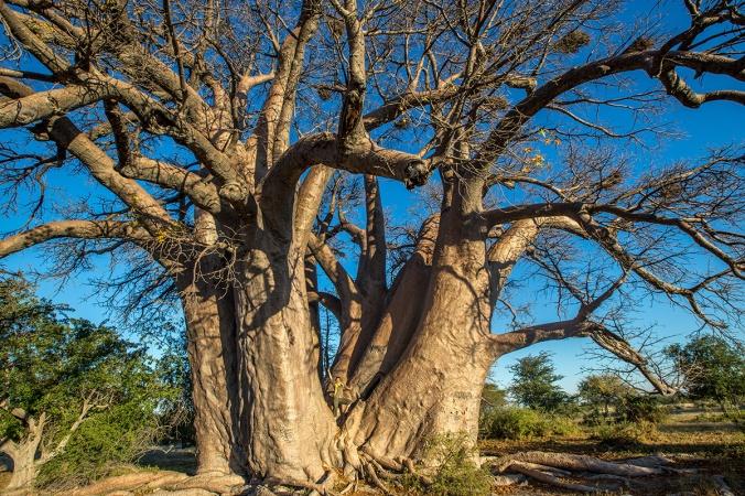 Chapman baobab, Botswana