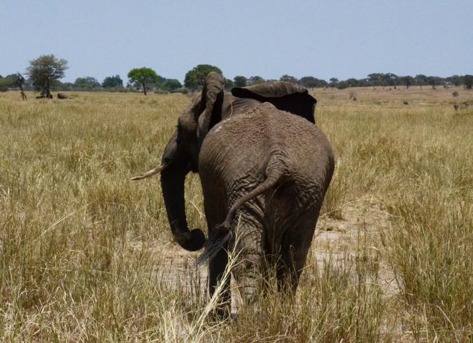 culd'éléphant