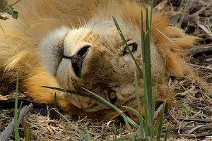 LION SELOUS