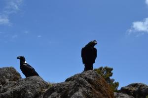 corvus albicollis