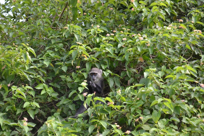 Un cercopithèque diadème ou singe bleu