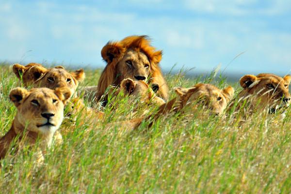 lions_55722_pgbighd